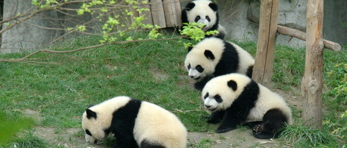 Panda Breeding Center is a must-visit place for your Chengdu tour.