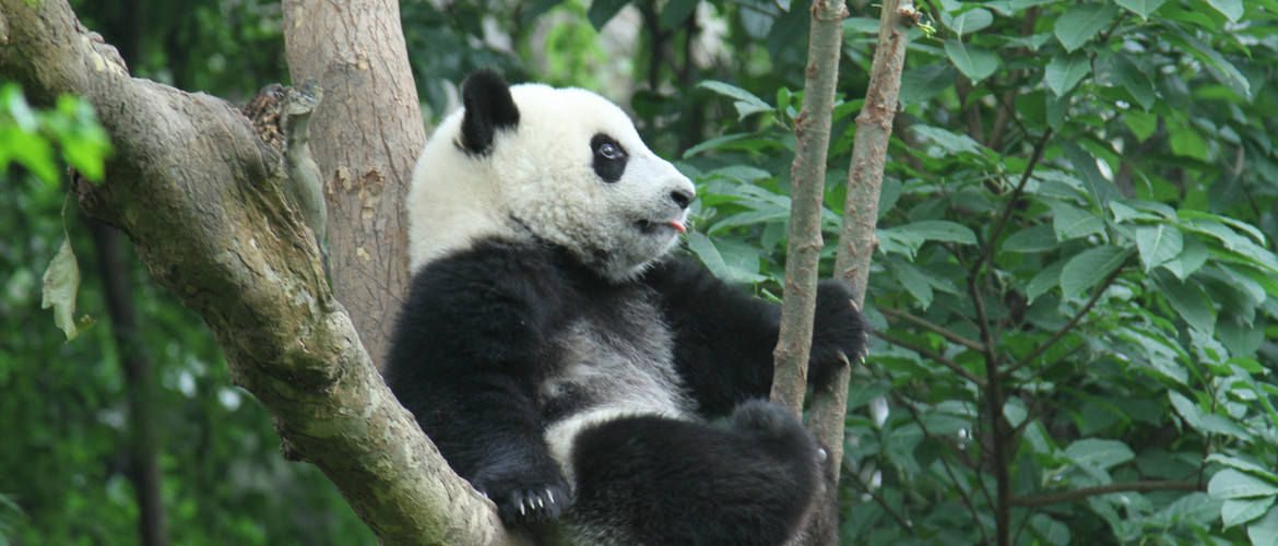 Lovely Giant Panda