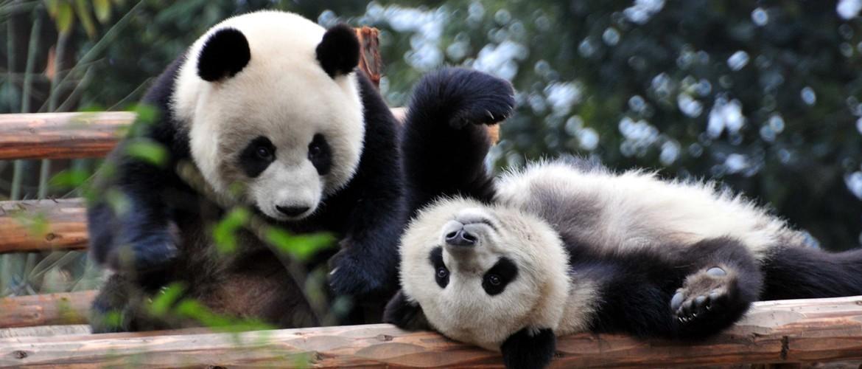 Lovely Giant Panda