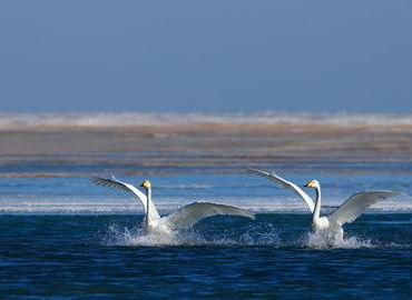 Swans playing in Qinghai Lake
