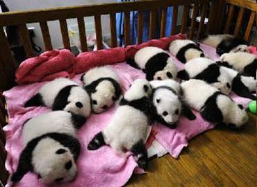 Panda Breeding Center in Chengdu