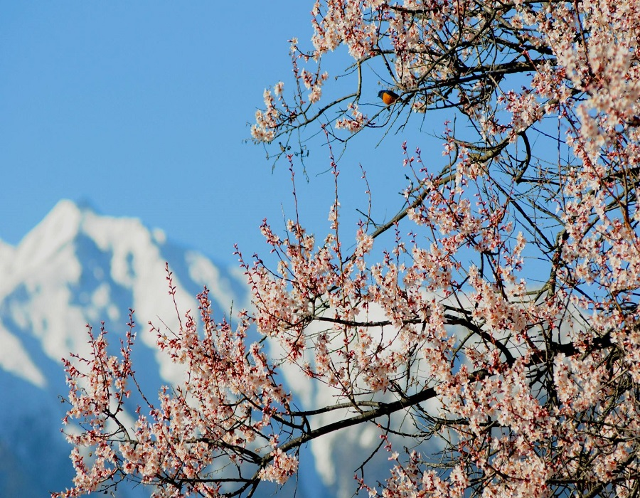 The Rinch Peach Flower Tourism and Culture Festival is a significant festival in Nyingchi