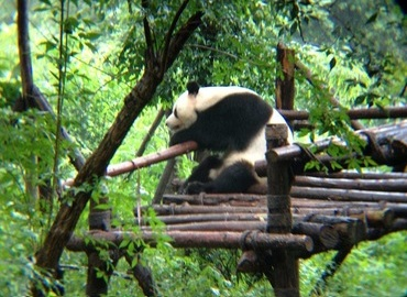 Chengdu is the hometown of the adorable Giant Pandas