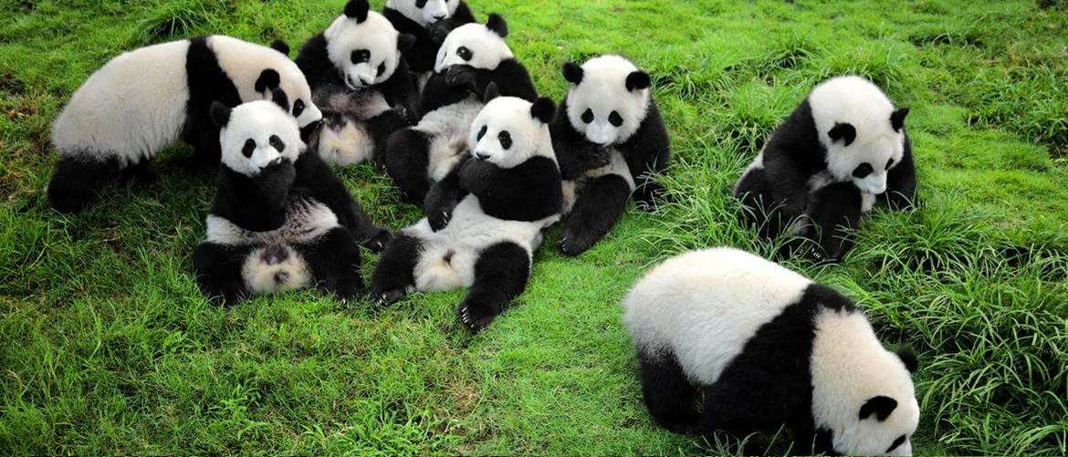 See lovely pandas in Chengdu Panda Breeding Center