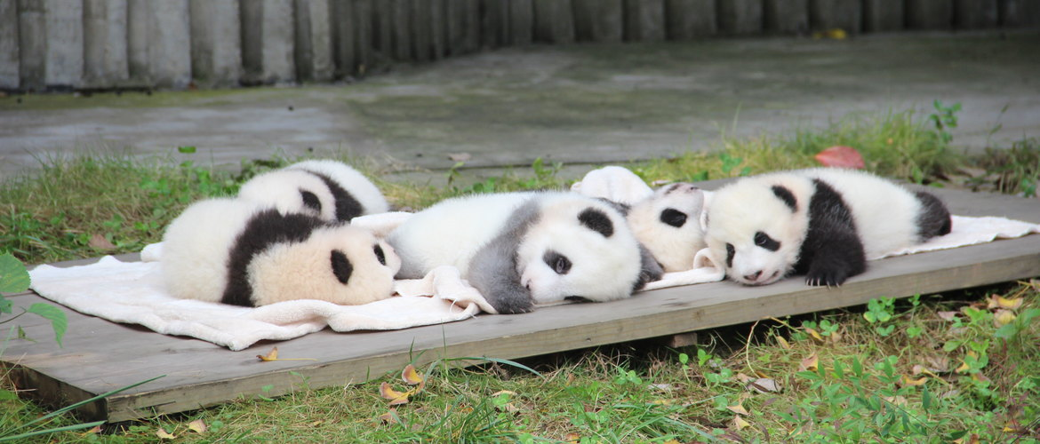 You can visit panda from very close distance.