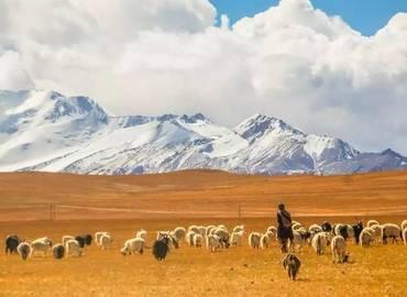 Tibetan herder and his sheep.